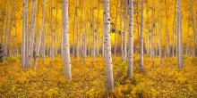 Birch trees surrounded by yellow leaves