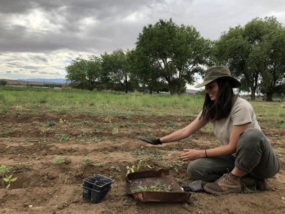 Alex Trahan planting tomatoes in Shiprock, NM