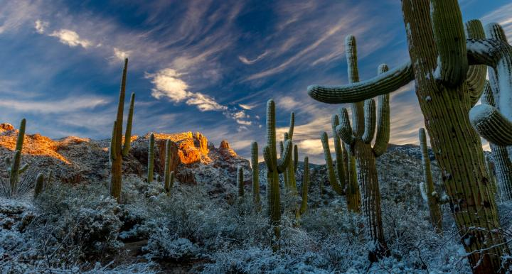Snow on saguaro cactus in desert